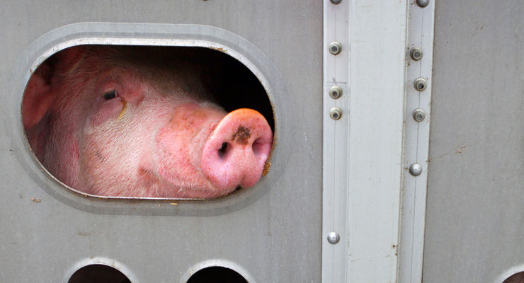 Politik und Wirtschaft, Schweinetransport